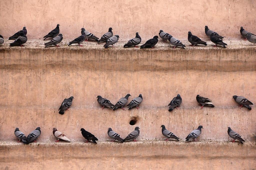 Taube vergiften