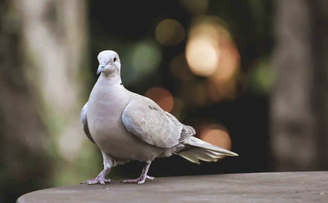 Taubennetz