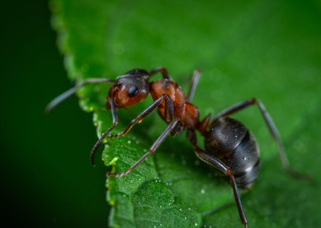 Buchsbaumblattfloh - Ameisen