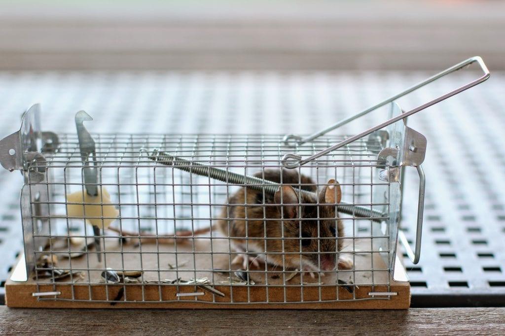 Lebendfalle - Ratten