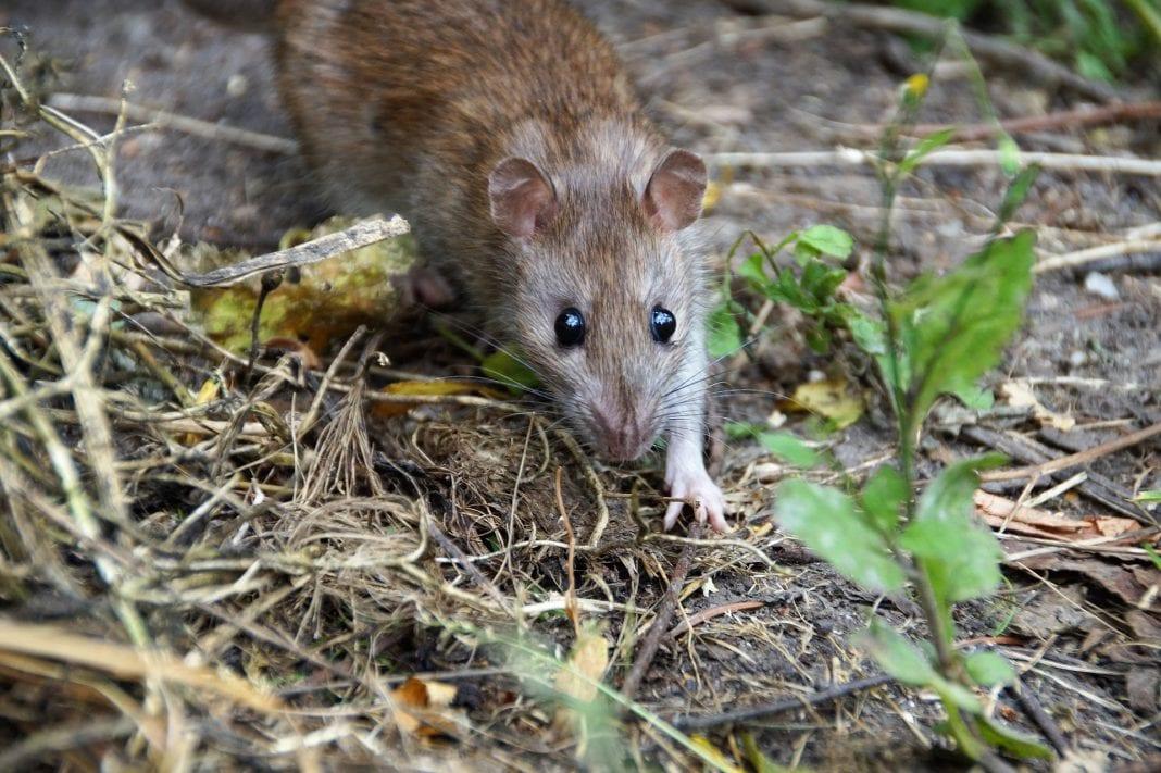 Ratten - Meldepflicht