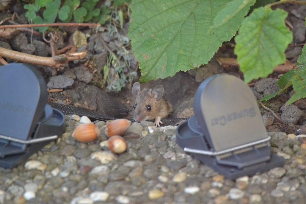 Rattenfalle aufstellen